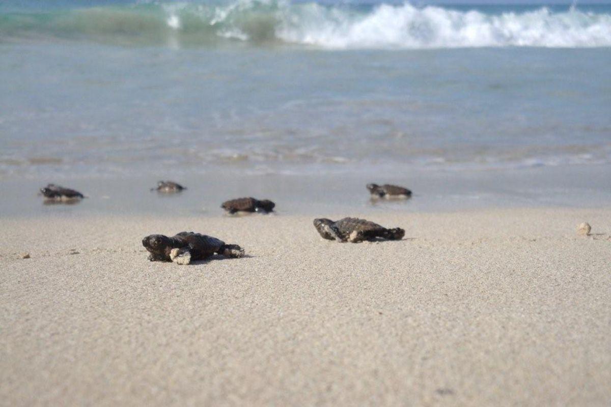 Expérience avec les tortues de mer